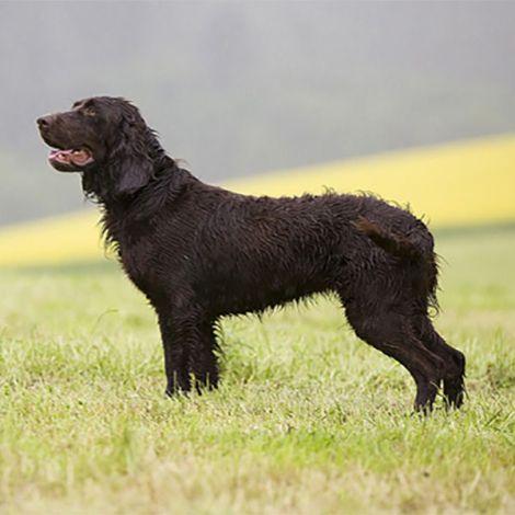 Немецкий Спаниель/Немецкая перепелиная собака/Вахтельхунд (Германия)