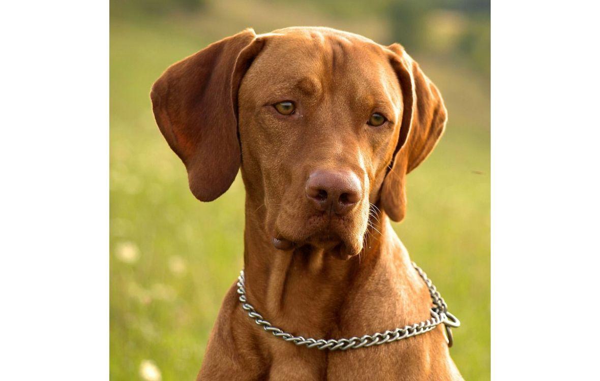 короткошерстные собаки породы с фото