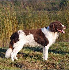 Дрентская куропаточная собака/Голландский партийсхонд (Нидерланды)